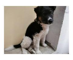 GSD cross st bernard puppy for sale