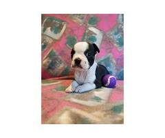Boston Terrier Puppies Registered
