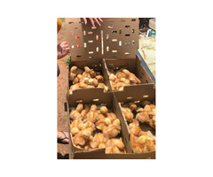 xlarge eggs and day old chicks its available