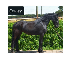 Registred Friesians for sale!!!
