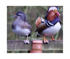 Exotic Ducks For Sale