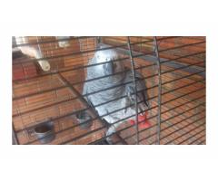 Male African Grey Parrot