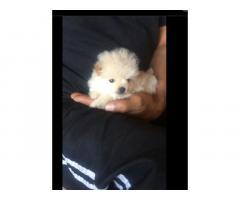 Toy pom pomeranian puppy