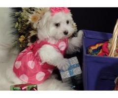 Healthy Maltese puppies for sale