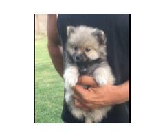 Toy pom (Pomeranian) puppy
