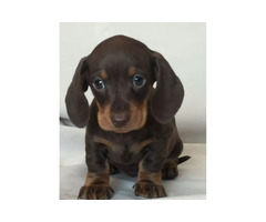 Min. Dachshund. Chocolate and black and tan males